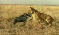 Świnia vs lew
