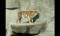 Czego boi się tygrys?