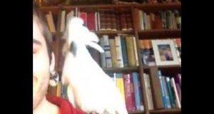 Papuga tańczy przy muzyce