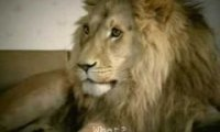 Lwy przed telewizorem