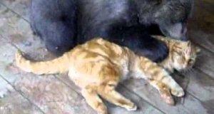 Rosyjski kot vs niedźwiedź