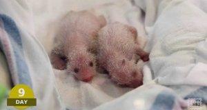 25 dni z życia małej pandy