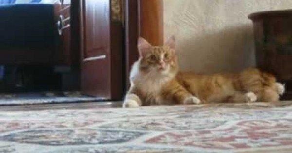 Kot z taczką