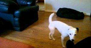 Psia porażka - nieudany skok na kanapę