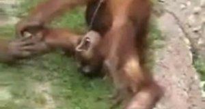 Szympans pije swój mocz