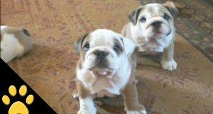 Bulldogi są fajne
