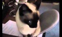 Koty świetnie krzyczą