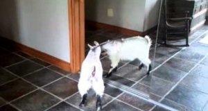 Koza walczy ze swoim odbiciem