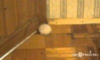 Gruby chomik i szpara w drzwiach