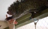 Tresowanie dzikiego jeżozwierza