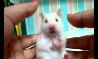 Dramatyczny szczur