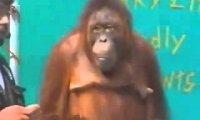 Orangutan - Niesamowity występ