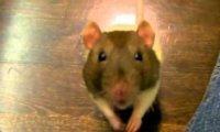 Aportowanie szczurków