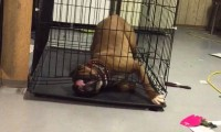 Sprytny li... pies ucieka z klatki