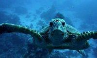 Wojowniczy żółw wodny