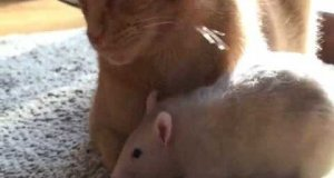 Kot i szczury