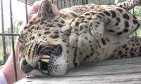Jaguar mruczy podczas masażu niczym samochód zmieniający bieg