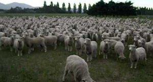 Owce protestują!