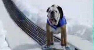 Pies na snowboardzie
