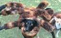 Powrót Spiderdog'a