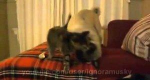 Domowy koci drapieżnik