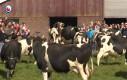 Krowy pełne radości