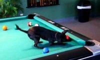 Pies , który uwielbia bilard