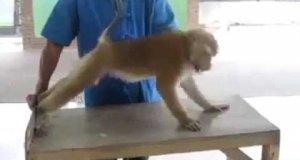 Małpa robi pompki i brzuszki