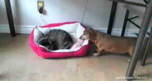 Koty kradną psom posłanie