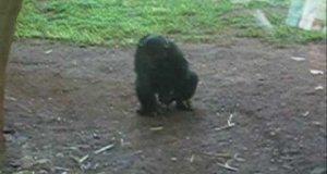 Szympans zabawia się z żabą