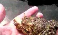 Trzygłowa żaba