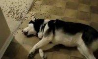 Najbardziej leniwy pies świata