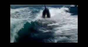 Orki płynące bardzo blisko łodzi