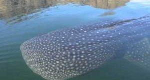 Bliskie spotkanie z rekinem