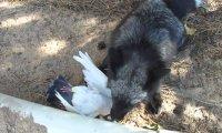 Lis cieszy się ze swojej zdobyczy