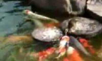 Kaczka karmi ryby