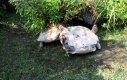 Żółw ratuje swojego przyjaciela