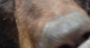Niedźwiedź odwiedza myśliwego