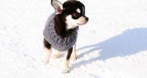 Dlaczego chihuahua nie biegają po śniegu?