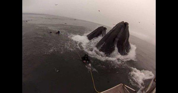 Nurkowie prawie pożarci przez wieloryby