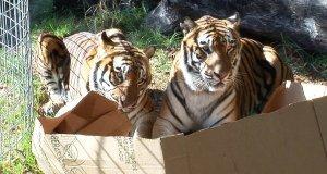 Duże koty też lubią kartony
