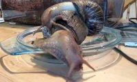 Ślimaki na sterydach