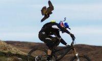 Rowerzysta vs sokół wędrowny