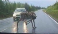 Renifer na drodze