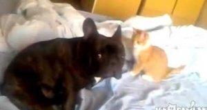 Kot - zabójca psów