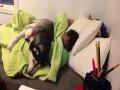 Husky - pies, który obroni Cię przed porannym wstawaniem