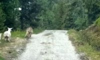 Owce vs wilk