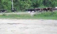 Rosjanin wjechał w stado krów