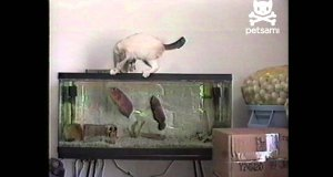 Kot vs rybka akwariowa