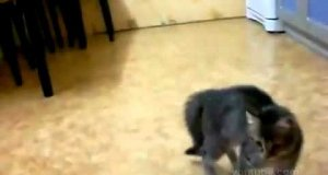 Tańczący kot